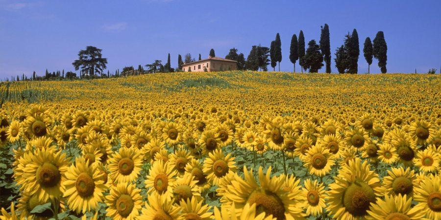 Visitar um campo de girassol é um programa obrigatório em um roteiro romântico na Toscana.